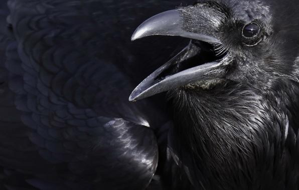 Картинка макро, птица, ворона