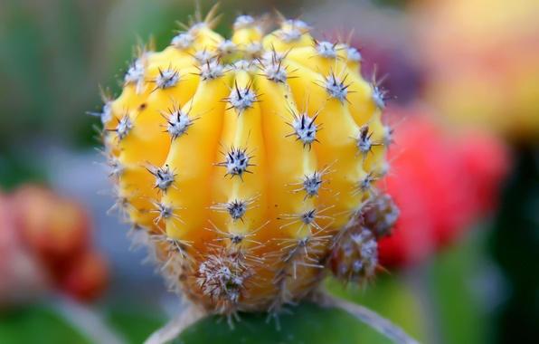Картинка иголки, жёлтый, кактус