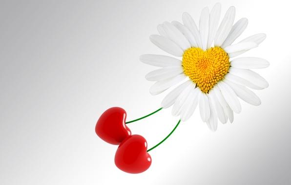 Картинка цветок, фон, праздник, сердце, ромашка, love, день святого валентина, heart, valentines day
