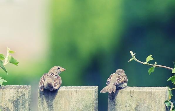 Картинка животные, листья, птицы, фон, дерево, птица, крылья, перья, клюв, воробей, листочки, два, HD wallpapers, обои …