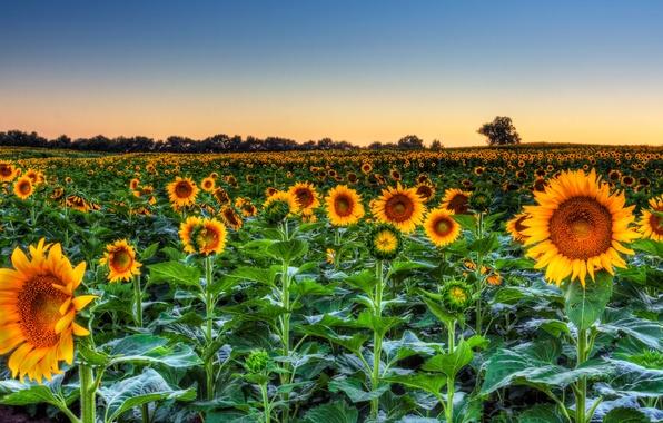 Картинка поле, небо, листья, деревья, подсолнухи, цветы, вечер, горизонт