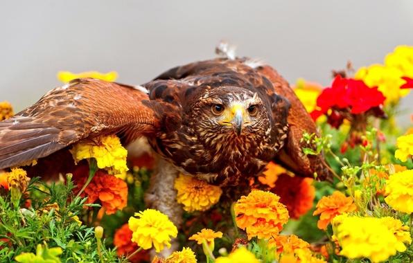 Картинка взгляд, цветы, птица, хищник, бархатцы