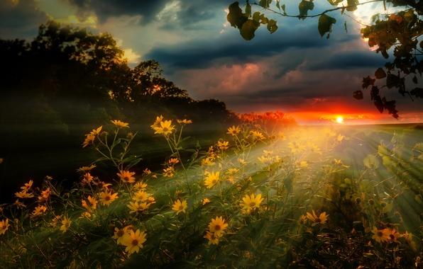 Картинка поле, небо, лучи, пейзаж, закат, цветы, тучи, природа