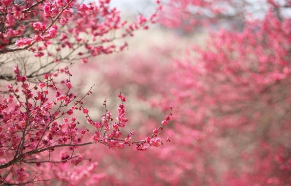 Картинка цветы, ветки, природа, фон, розовый, фокус, весна, Сакура, цветение, веточки