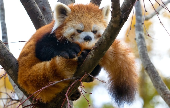 Картинка дерево, ветка, красная панда, firefox, малая панда