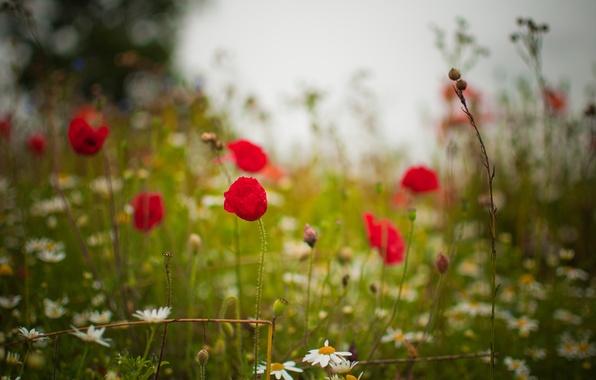 Картинка поле, лето, трава, цветы, природа, поляна, маки, ромашки