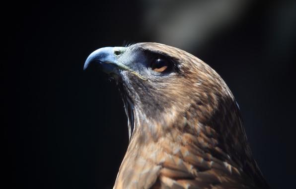 Картинка взгляд, птица, профиль, Ястреб