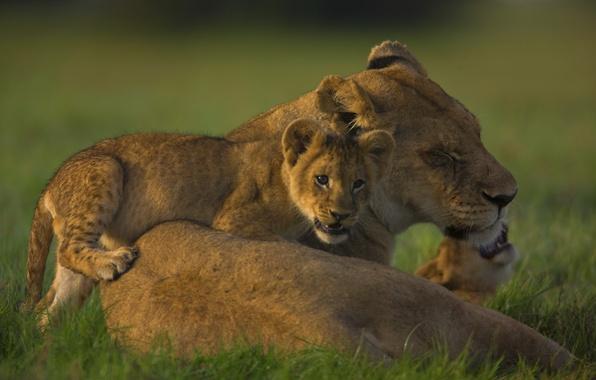 Картинка семья, львята, львица, прайд