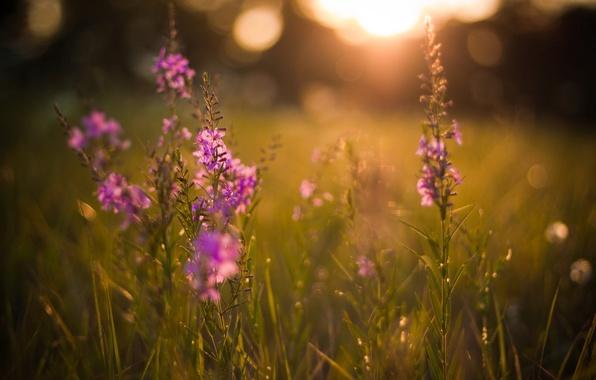 Картинка лето, солнце, лучи, свет, закат, цветы, природа, блики, фон, обои, поляна, растения, вечер, травы