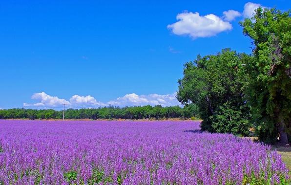 Картинка дорога, поле, деревья, цветы, Франция, луг, лаванда, плантация