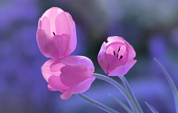 Картинка фон, тюльпаны, трио, бутоны