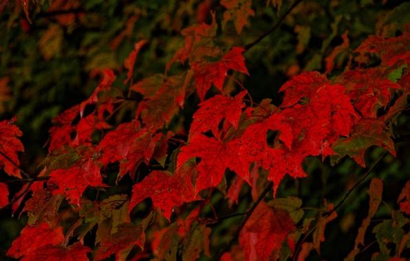 Картинка осень, листья, дерево, клен, багрянец