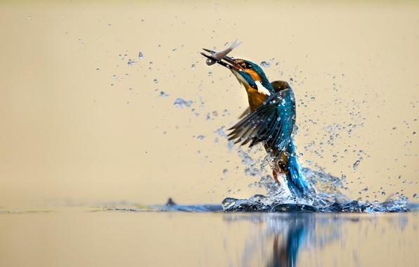 Картинка вода, брызги, птица, зимородок, улов