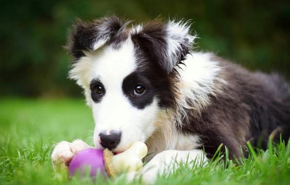 Картинка игрушка, собака, щенок, Бордер-колли