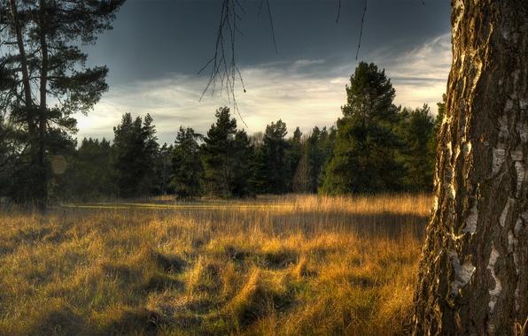 Картинка лес, небо, трава, деревья, ели, береза, сухая