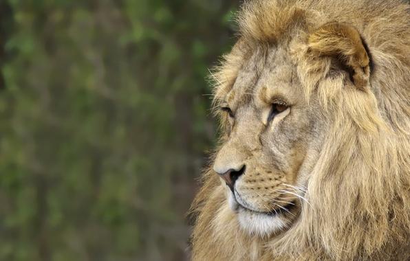 Картинка природа, лев, зверь