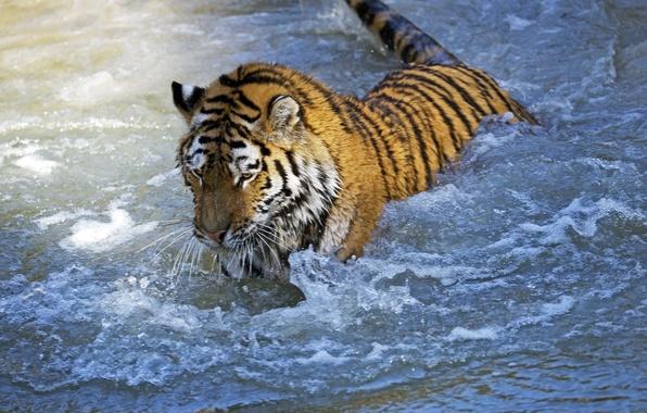 Картинка кошка, вода, тигр, мокрый, игра, купание, амурский