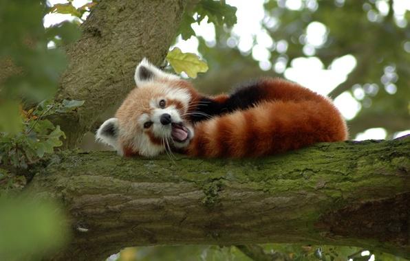 Картинка дерево, медведь, панда, рыжая, малая