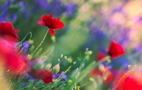 Картинка поле, листья, цветы, блики, стебли, размытость, Маки, красные, полевые, синие, боке