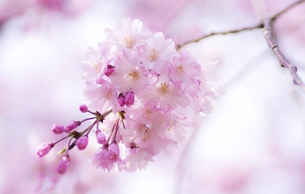 Картинка макро, цветы, розовый, ветка, весна, сакура, цветение