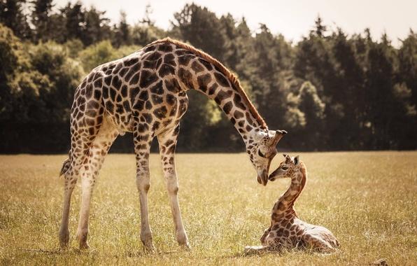 Картинка жираф, жирафы, детеныш, мама