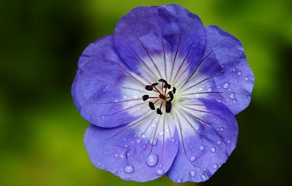 Картинка цветок, капельки, лепестки, Герань, журавельник, сине-белый