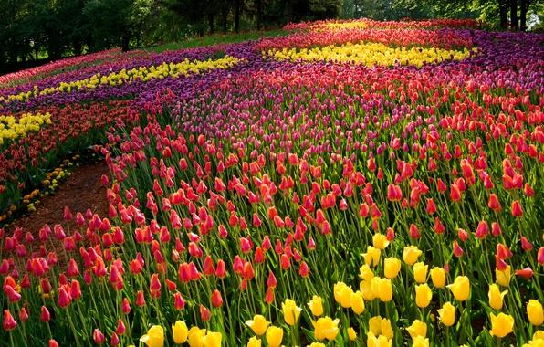 Картинка лето, деревья, цветы, парк, тюльпаны, разноцветные
