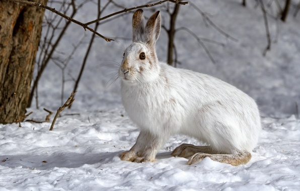 Картинка зима, снег, заяц