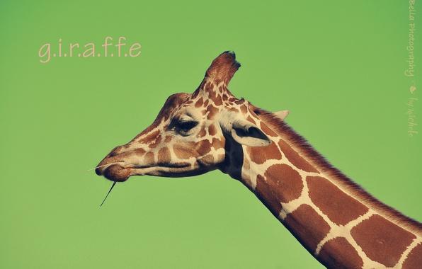 Картинка морда, фон, надпись, жираф, шея