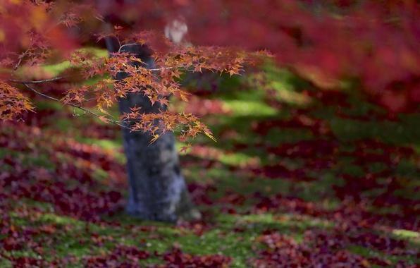 Картинка осень, листья, макро, фокус, Дерево, размытость, красные, оранжевые, клен