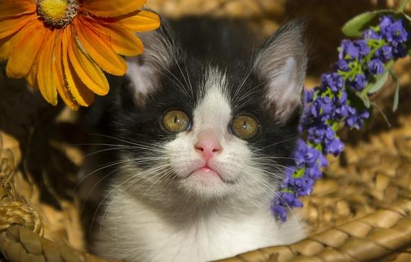 Картинка взгляд, цветы, корзина, малыш, котёнок, мордашка