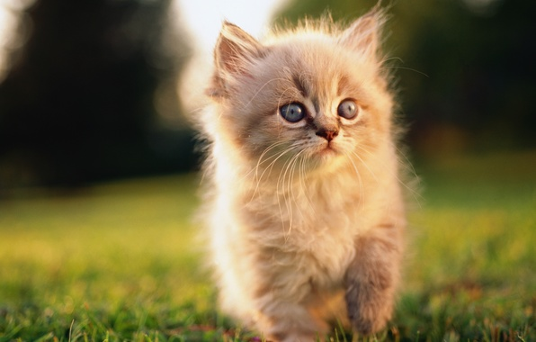 Картинка трава, котенок, пушистый, мордочка