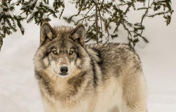 Картинка зима, взгляд, волк, хищник, санитар леса