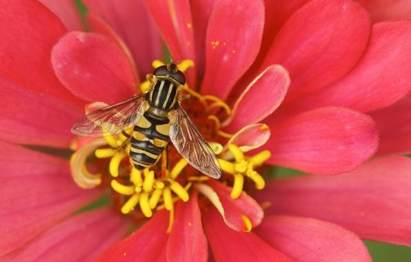 Картинка макро, пчела, лепестки, тычинки, опыление, Цвыток