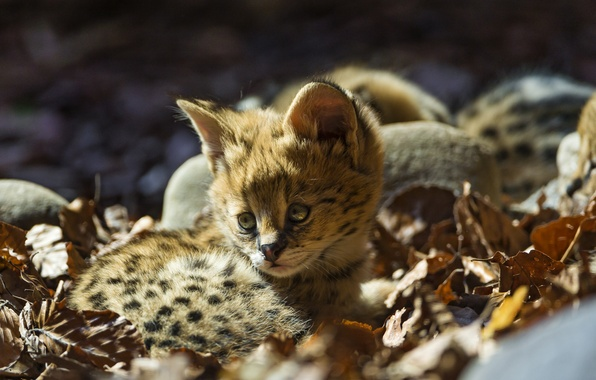Картинка кошка, листья, малыш, детёныш, котёнок, сервал, ©Tambako The Jaguar