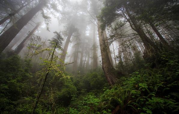 Картинка лес, деревья, елки, Damnation Creek Trail, Redwood heaven, Northern California