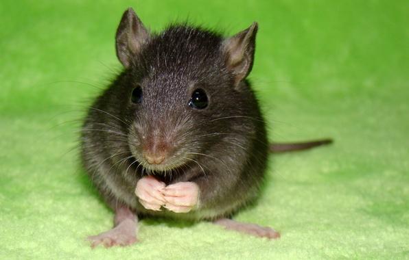 Картинка макро, зеленый, green, крысы, крыса, macro, 1920х1080, питомцы, питомец, pets, pet, rat, rats