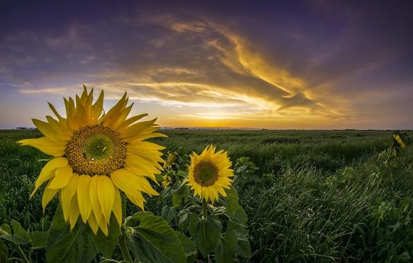 Картинка закат, природа, подсолнух