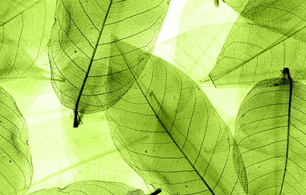 Картинка листья, green, abstract, leaves, macro, transparent