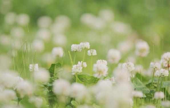 Картинка зелень, белый, лето, трава, листья, цветы, природа, поляна, нежность, растения, размытость, клевер