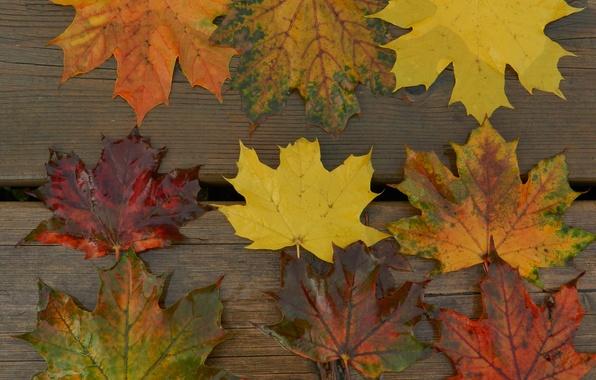 Картинка осень, листья, макро, доски, клен