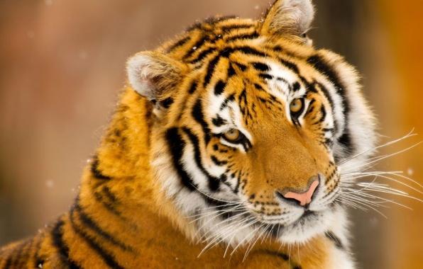 Фото обои усы, тигр, снег