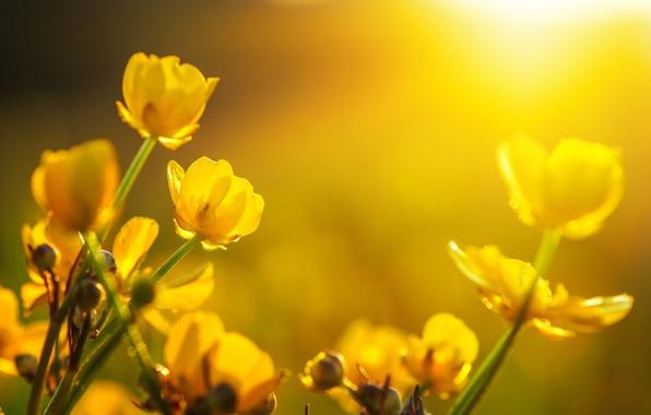 Картинка солнце, цветы, весна, тюльпаны, bokeh