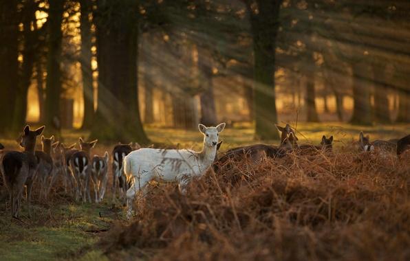 Картинка лес, олени, The White Faun