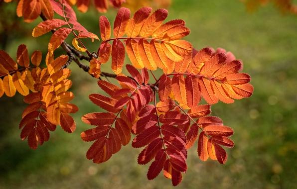 Картинка осень, листья, ветка, багрянец