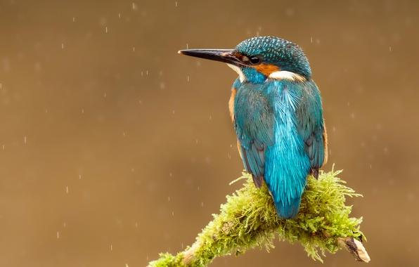 Картинка капли, дождь, птица, ветка, клюв, kingfisher, alcedo atthis, обыкновенный зимородок