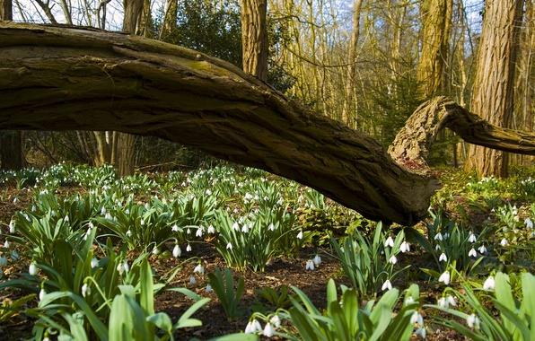 Картинка деревья, цветы, природа, стволы, весна, Лес, подснежники, ствол