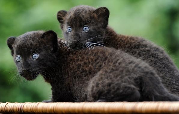 Картинка кошки, звери, обои, пантера, маленькие, котята, wallpaper
