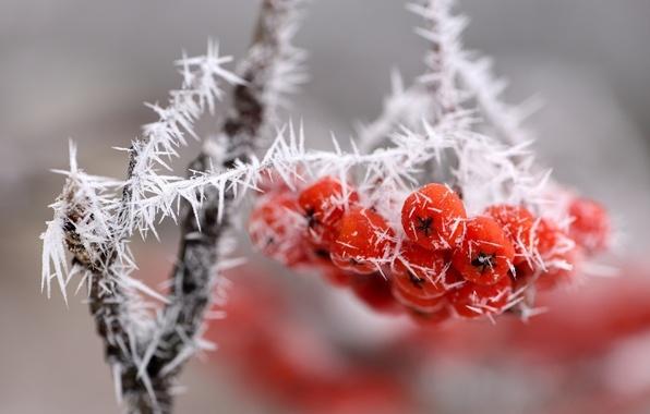 Картинка лед, макро, снег, ягоды, ветка, гроздь, красные, изморозь
