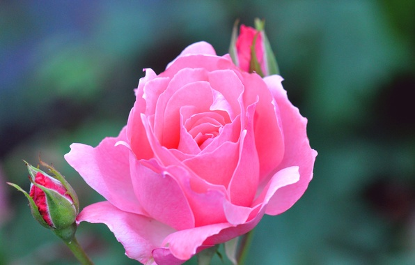 Картинка цветок, роза, бутон